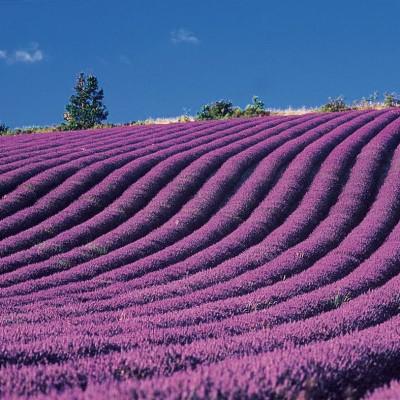 N°7<br/>La Provence et sa lavande